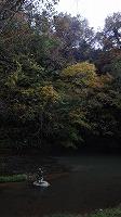 宮島峡紅葉情報_c0208355_18522460.jpg