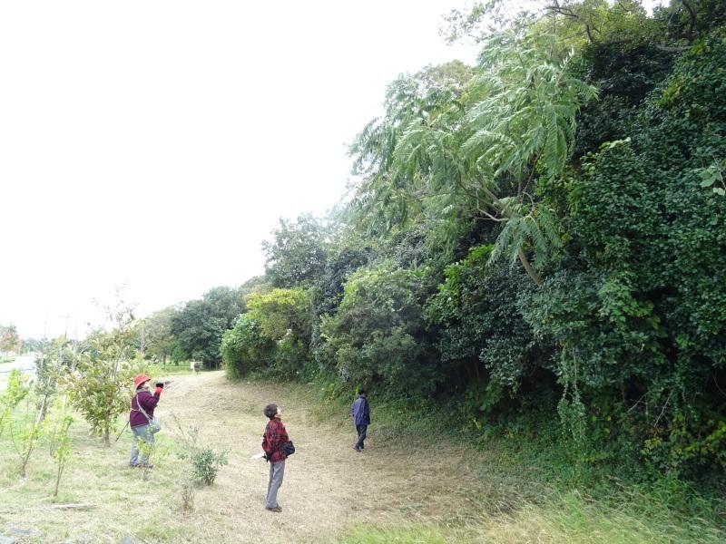 ホルトの古木は生き返った  in  せんなん里海公園_c0108460_16361970.jpg