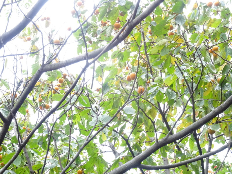 ホルトの古木は生き返った  in  せんなん里海公園_c0108460_16451949.jpg