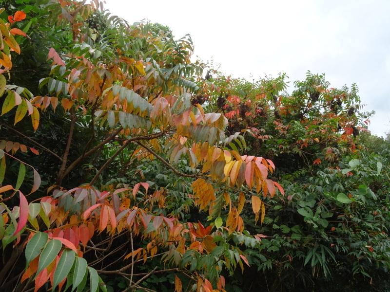 ホルトの古木は生き返った  in  せんなん里海公園_c0108460_16452087.jpg