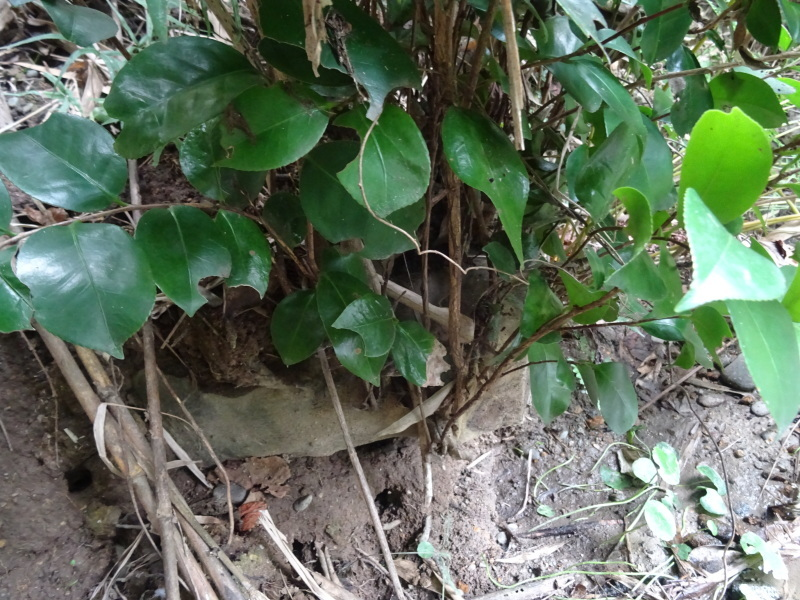 ホルトの古木は生き返った  in  せんなん里海公園_c0108460_16535765.jpg