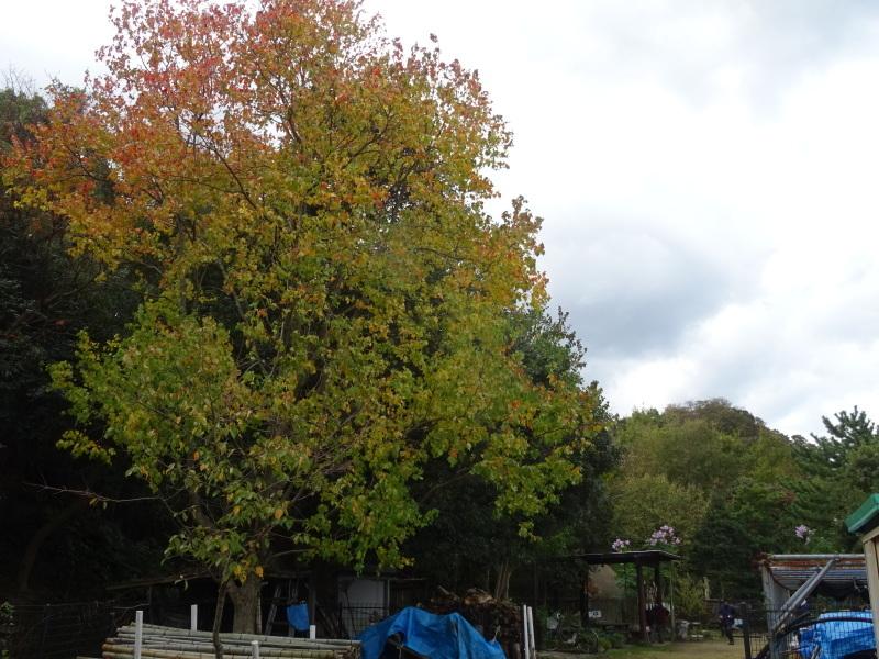 ホルトの古木は生き返った  in  せんなん里海公園_c0108460_16565974.jpg