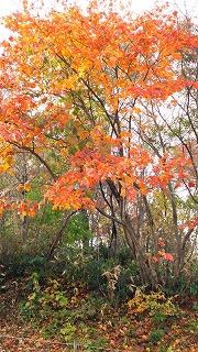 倶利伽羅県定公園周辺紅葉情報_c0208355_16274751.jpg