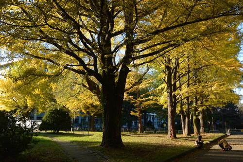 """2014年10月 北大キャンパス紅葉 2014 October \""""Autumn color in Hokkaido University\""""_c0219616_14351248.jpg"""