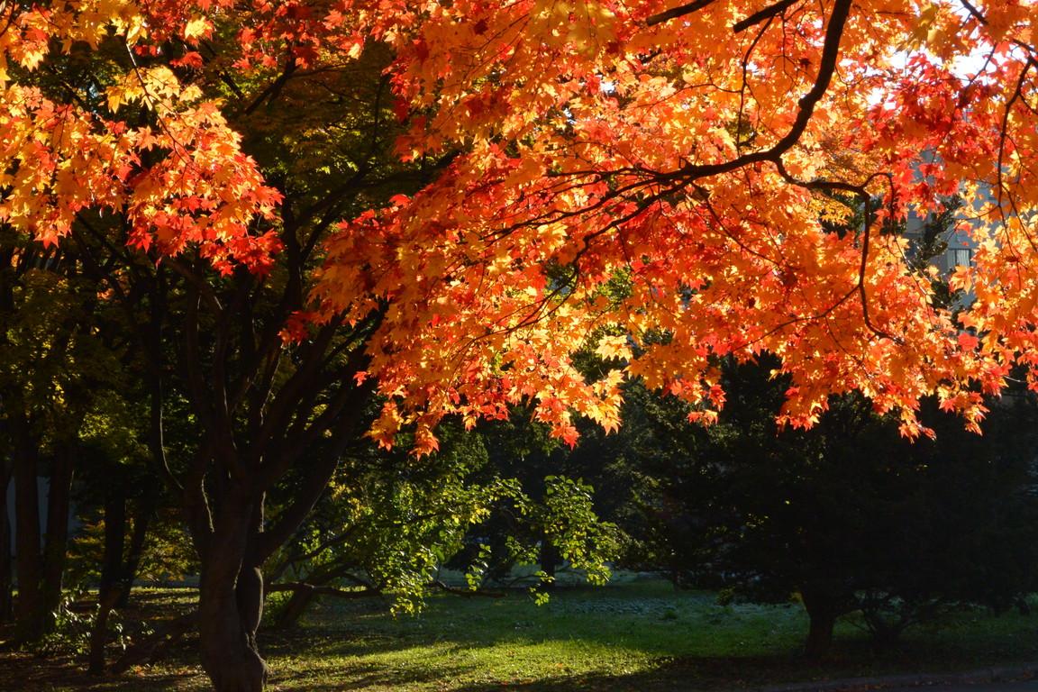 """2014年10月 北大キャンパス紅葉 2014 October \""""Autumn color in Hokkaido University\""""_c0219616_14361423.jpg"""