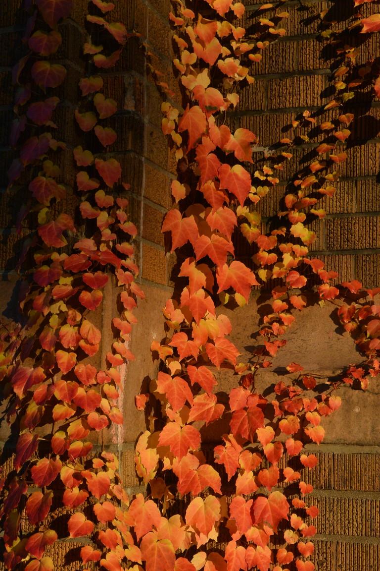 """2014年10月 北大キャンパス紅葉 2014 October \""""Autumn color in Hokkaido University\""""_c0219616_14383980.jpg"""