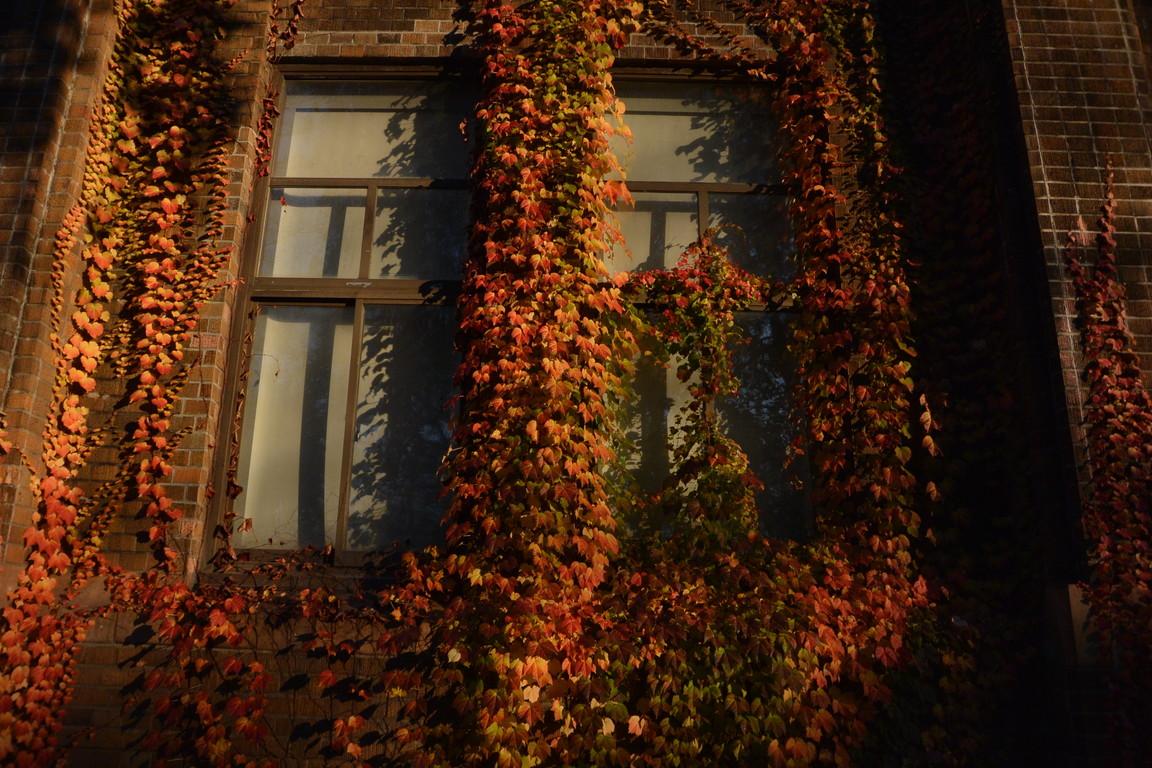"""2014年10月 北大キャンパス紅葉 2014 October \""""Autumn color in Hokkaido University\""""_c0219616_1438926.jpg"""