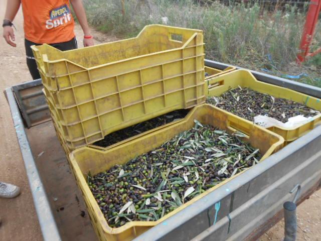 オリーブの収穫2014_b0305039_2515990.jpg