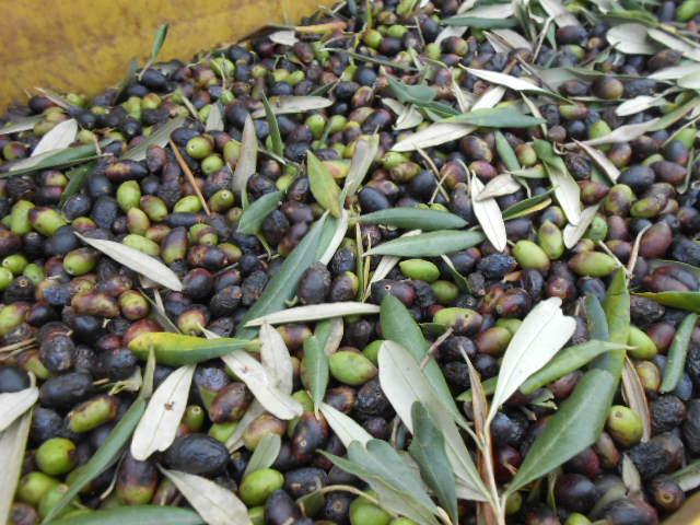 オリーブの収穫2014_b0305039_3141850.jpg