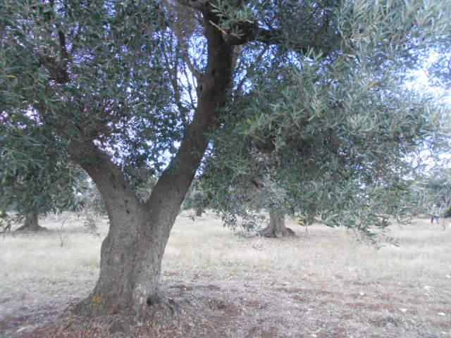 オリーブの収穫2014_b0305039_314186.jpg