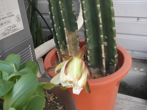 サボテンの花2611_f0213709_8511688.jpg