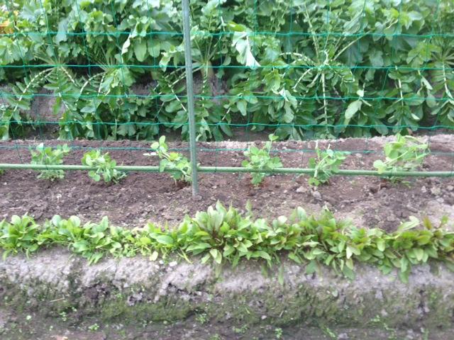 苗の植え替え_f0204295_11143974.jpg