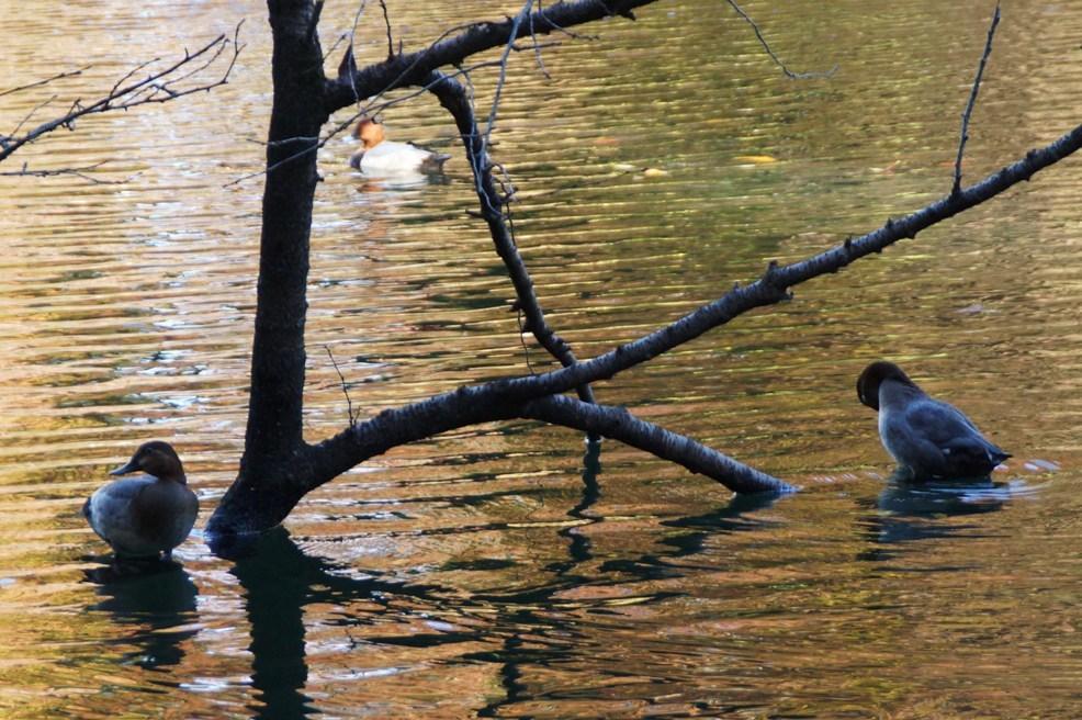 池面に鴨のトライアングル_f0006713_23072079.jpg