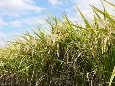 砂田米 来年も美味しいお米を育てるために!その2:れんげの種まきと転圧作業_a0254656_17312328.jpg