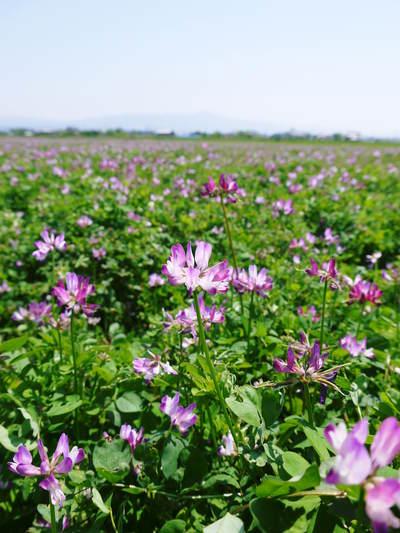 砂田米 来年も美味しいお米を育てるために!その2:れんげの種まきと転圧作業_a0254656_18561775.jpg