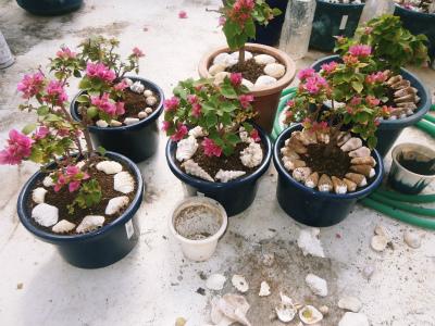 ブーゲンビレアの花盛り_c0180460_17171310.jpg