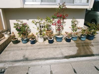 ブーゲンビレアの花盛り_c0180460_17183411.jpg