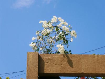 ブーゲンビレアの花盛り_c0180460_17185186.jpg