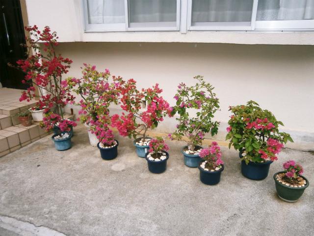 ブーゲンビレアの花盛り_c0180460_1719377.jpg