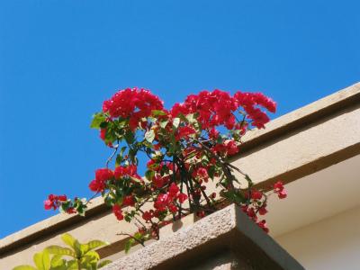 ブーゲンビレアの花盛り_c0180460_17194013.jpg