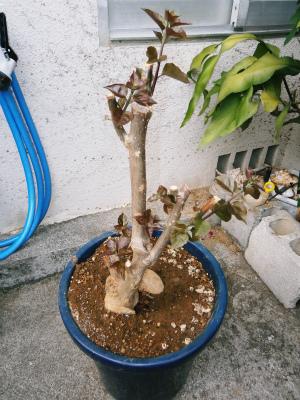 ブーゲンビレアの花盛り_c0180460_17205293.jpg