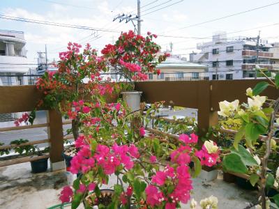 ブーゲンビレアの花盛り_c0180460_17241189.jpg