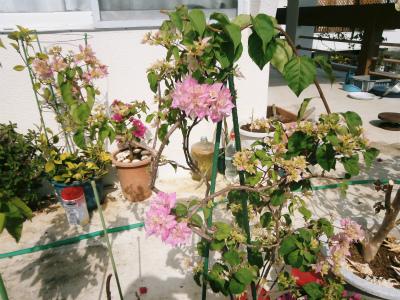 ブーゲンビレアの花盛り_c0180460_1725346.jpg
