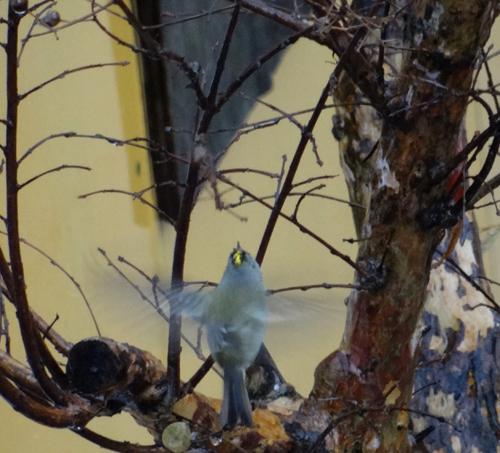 初めてのキクイタダキ♪ 庭の紅葉とシジュウカラなど^^_a0136293_16134574.jpg