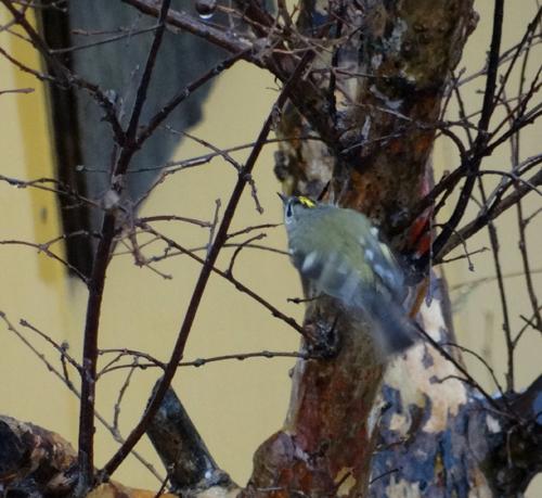 初めてのキクイタダキ♪ 庭の紅葉とシジュウカラなど^^_a0136293_16164574.jpg