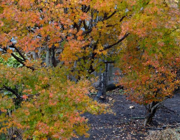 初めてのキクイタダキ♪ 庭の紅葉とシジュウカラなど^^_a0136293_1645089.jpg