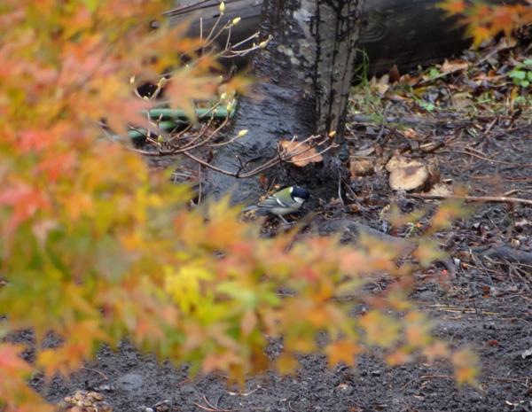 初めてのキクイタダキ♪ 庭の紅葉とシジュウカラなど^^_a0136293_167032.jpg