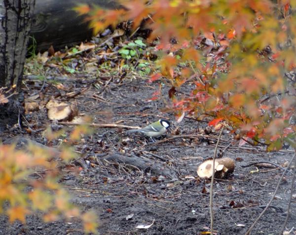 初めてのキクイタダキ♪ 庭の紅葉とシジュウカラなど^^_a0136293_1671818.jpg