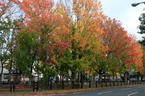 紅葉めぐり19 紫明通りも紅葉盛り_e0048413_19533534.jpg