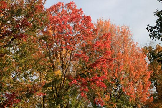 紅葉めぐり19 紫明通りも紅葉盛り_e0048413_19544423.jpg