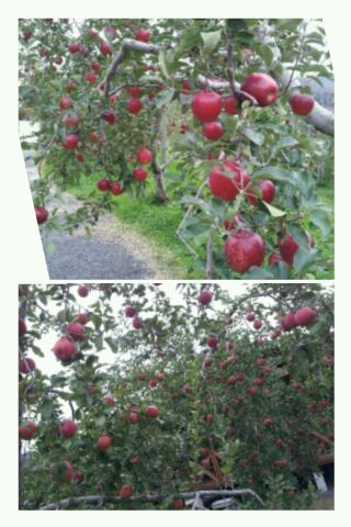 りんご_d0049817_10222219.jpg