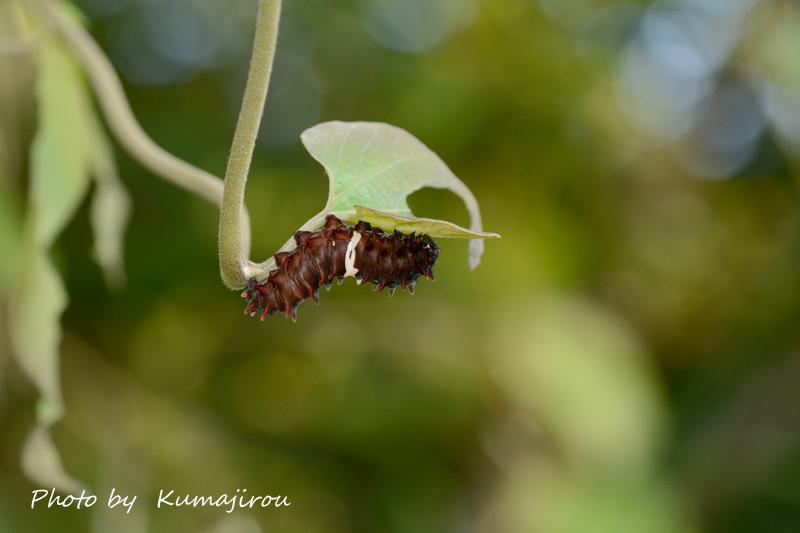 ジャコウアゲハの幼虫_b0192746_19495115.jpg