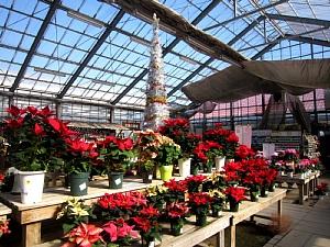 ポインセチアはクリスマス前に!_c0141652_1743433.jpg