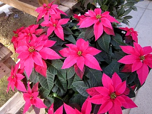 ポインセチアはクリスマス前に!_c0141652_17442094.jpg