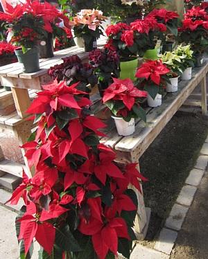 ポインセチアはクリスマス前に!_c0141652_1748758.jpg