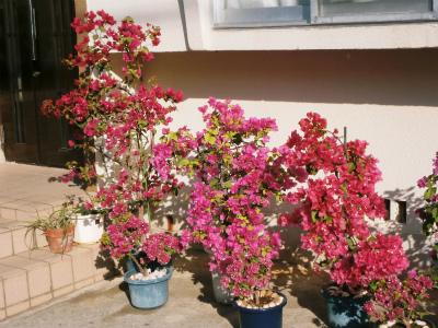 ブーゲンビレアの花盛り_c0180460_1738279.jpg
