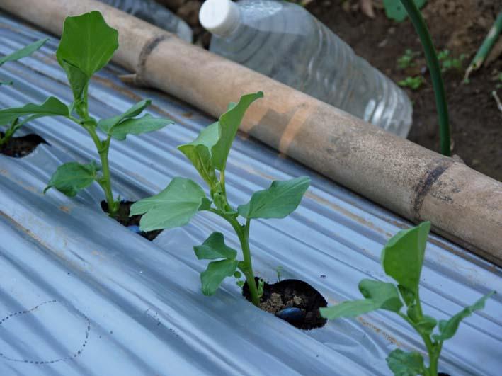 ソラマメと第一陣のキャベツの苗を移植:2014・11・13_c0014967_1952137.jpg