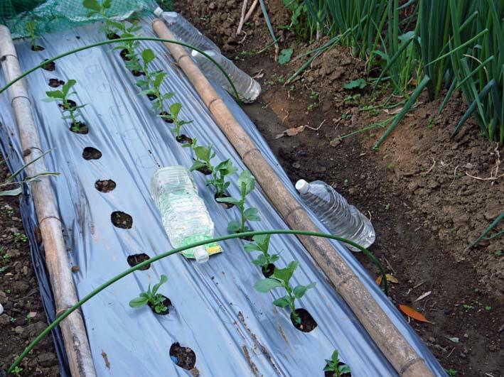 ソラマメと第一陣のキャベツの苗を移植:2014・11・13_c0014967_19531895.jpg