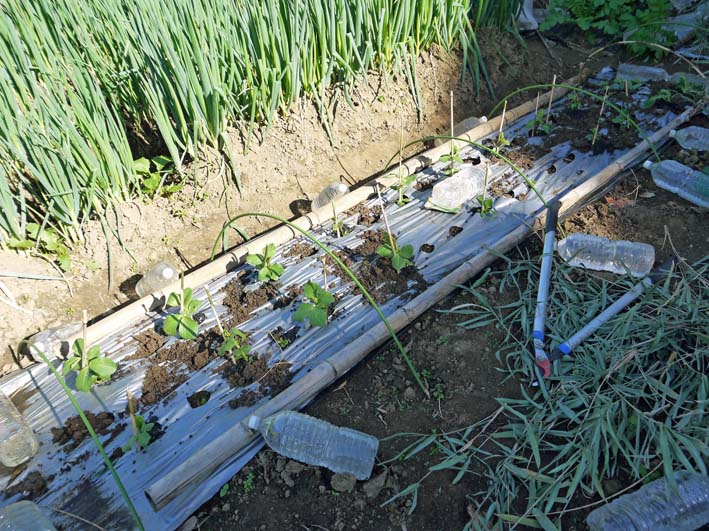 ソラマメと第一陣のキャベツの苗を移植:2014・11・13_c0014967_19533137.jpg