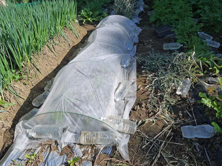 ソラマメと第一陣のキャベツの苗を移植:2014・11・13_c0014967_19534452.jpg