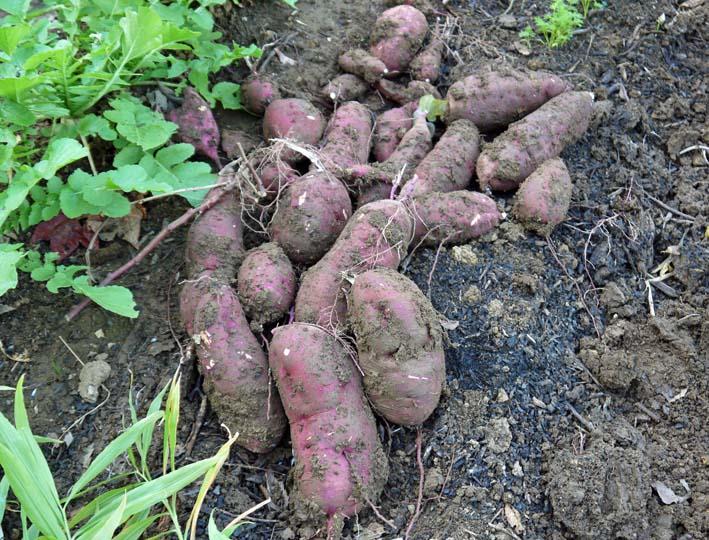 サツマイモ(紅はるか)、ショウガを収穫:20114・11・14_c0014967_21315874.jpg