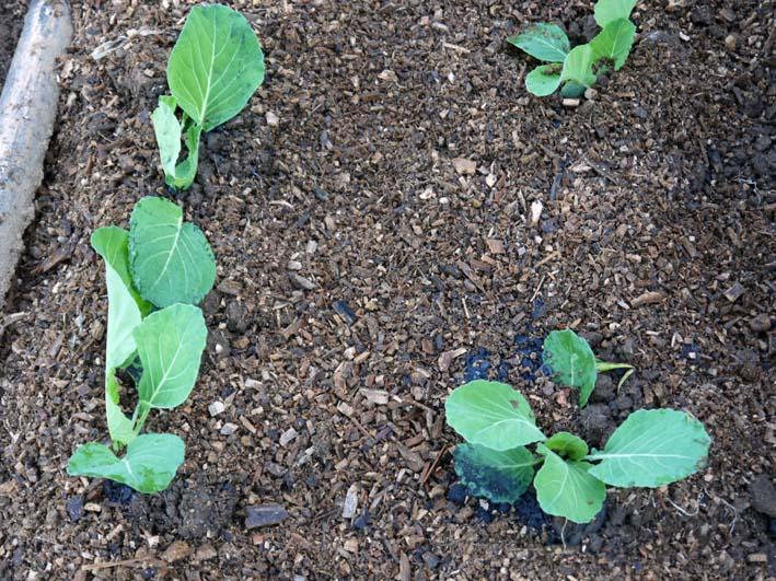 サツマイモ(紅はるか)、ショウガを収穫:20114・11・14_c0014967_2134826.jpg
