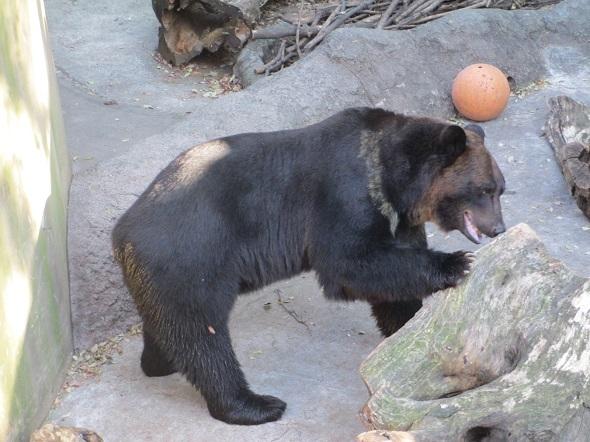 熊の手_b0203907_15585218.jpg