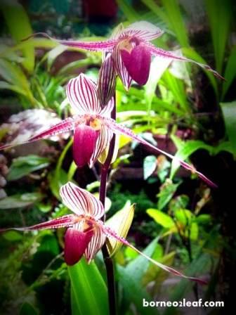 ボルネオ島の BIG 4 植物_a0132757_11362396.jpg