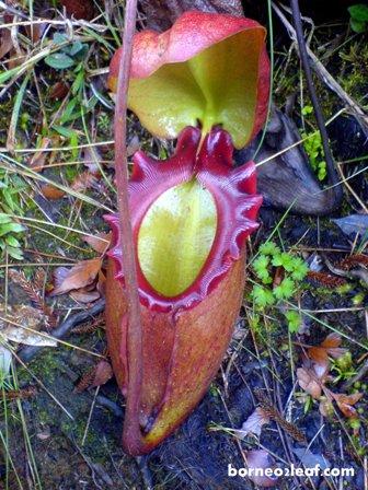 ボルネオ島の BIG 4 植物_a0132757_113658.jpg