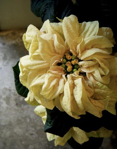 クリスマスを彩るお花たち。。。_a0229658_10463414.jpg